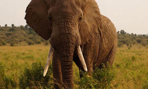 kepgaleria-gepard-vadaszat-elefant